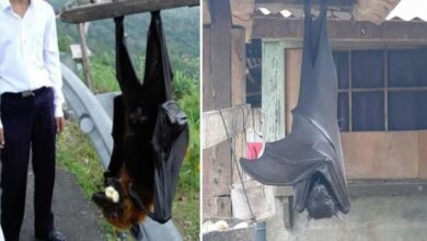 Photo of It Is the Size Of an Adult Person: These Are the Dimensions Of the Largest Bat In the World