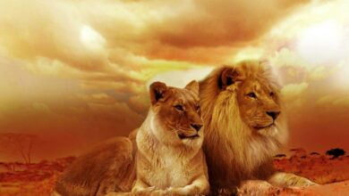 Photo of What does it mean to dream of lions?