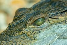 Photo of Crocodiles Dream Meaning