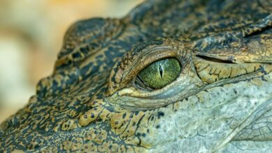 Photo of What does it mean to dream of Crocodiles?